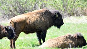 American Bison Herd in San Diego County California. The American bison or simply bison, also commonly known as the American buffalo or simply buffalo, is a royalty free stock photos