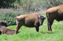 American Bison Herd in San Diego County California. The American bison or simply bison, also commonly known as the American buffalo or simply buffalo, is a royalty free stock image