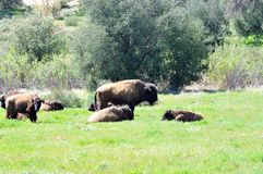 American Bison Herd in San Diego County California. The American bison or simply bison, also commonly known as the American buffalo or simply buffalo, is a stock photos