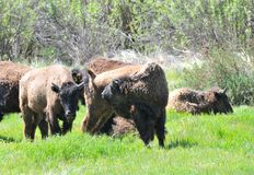 American Bison Herd in San Diego County California. The American bison or simply bison, also commonly known as the American buffalo or simply buffalo, is a royalty free stock images