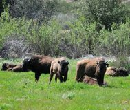 American Bison Herd in San Diego County California. The American bison or simply bison, also commonly known as the American buffalo or simply buffalo, is a royalty free stock photography