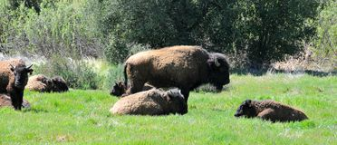 American Bison Herd in San Diego County California. The American bison or simply bison, also commonly known as the American buffalo or simply buffalo, is a stock photo