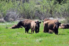 American Bison Herd in San Diego County California. The American bison or simply bison, also commonly known as the American buffalo or simply buffalo, is a stock photography