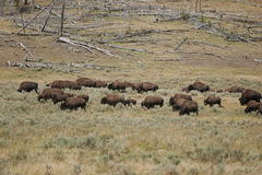 American Bison Herd. Herd of American Bison in Yellowstone National Park Royalty Free Stock Photos
