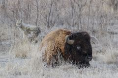American Bison on the High Plains of Colorado Royalty Free Stock Images