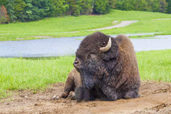 American bison Stock Photos