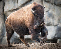 American Bison III. American Bison on the Run Stock Photo