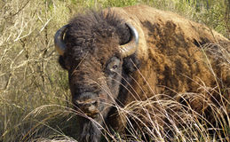 American Bison. This image is of an American Bison standing in the tall grass Stock Photography