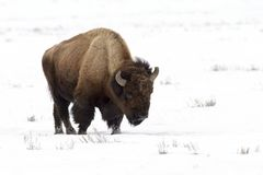 American Bison  in wintertime Royalty Free Stock Photography
