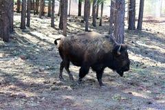 American Bison. Large brown American bison, walking in Northern Arizona desert in the spring Stock Photo