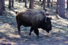 American Bison. Large brown American bison, walking in Northern Arizona desert in the spring Royalty Free Stock Photography