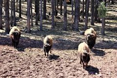 American Bison. Large brown American bison, walking in Northern Arizona desert in the spring Stock Images