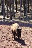 American Bison. Large brown American bison, walking in Northern Arizona desert in the spring Royalty Free Stock Photo