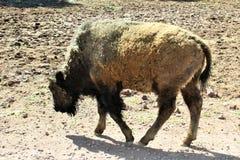 American Bison. Large American bison walking in the desert in Northern Arizona Stock Photo