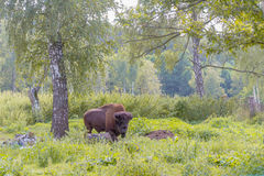 American bison. On natural background Stock Image