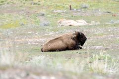 American bison. The nomadic grazer that is the largest terrestrial animal in North America and travels in herds Royalty Free Stock Photo