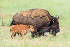 Free American Bison On The High Plains Of Colorado. Cow And Calf In A Field Of Grass Stock Images - 151646634