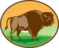 American Bison Oval Woodcut Stock Images