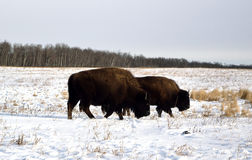 American Bison. A pair on buffalo grazing in the snow on the Canadian prairie Stock Photography
