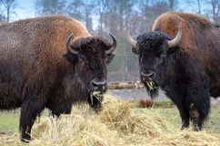 American Bison. Pair of American Bison feeding on hay Stock Photo