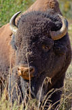 American Bison Portrait. An American Bison is standing in the grass looking at the camera Royalty Free Stock Images