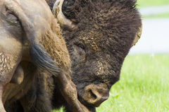 American bison portrait Royalty Free Stock Photos