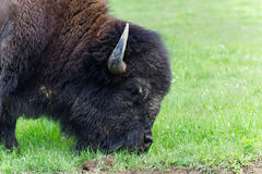 American bison profile. Eating grass in the prairie Royalty Free Stock Image