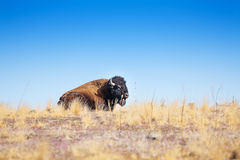 American bison profile laying in dry grass prairie Stock Photo