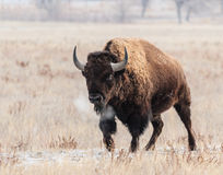 American Bison. Roam the planes of Colorado Stock Photography