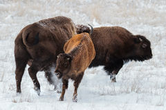 American Bison. Roam the planes of Colorado royalty free stock images