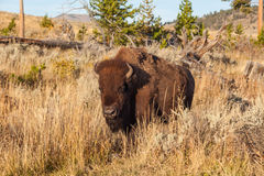 American Bison in Sage Royalty Free Stock Photos