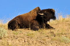 American Bison showing his hump. Royalty Free Stock Image