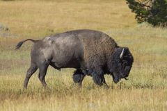 American bison. Side view of American bison in Yellowstone National Park, California, U.S.A Royalty Free Stock Image