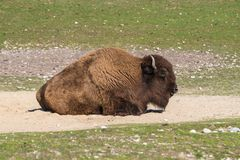 American buffalo known as bison, Bos bison in the zoo stock images
