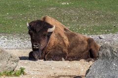 American buffalo known as bison, Bos bison in the zoo stock image