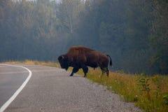 North American Bison crossing the road, Yukon, Canada stock image