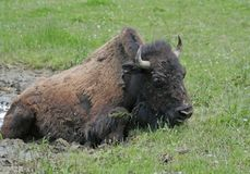 American Bison sitting in the mud Royalty Free Stock Photography
