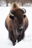 American Bison in Snow II Royalty Free Stock Photo