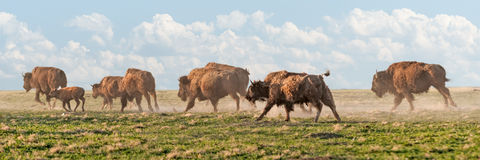 Free American Bison Stampede Stock Photo - 27190600