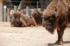 American Bison in sunny day Stock Photography