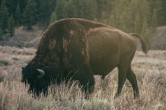 American Bison & Sunset. Yellowstone National Park Bison at the sunset Royalty Free Stock Photo