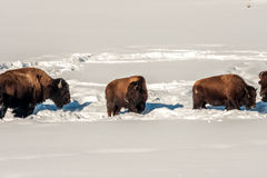 American Bison Taking a Break Stock Image