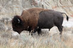 American Bison in Theodore Roosevelt National Park Stock Image
