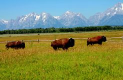 Three American Bison Crossing in Yellowstone National Park with Mountains Behind. American Bison trio crossing the Yellowstone Plains with a Mountain View royalty free stock photography