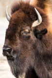 American Bison VI Royalty Free Stock Image