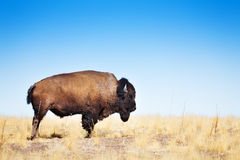 American bison walking across a prairie landscape Royalty Free Stock Image