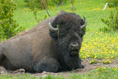 American Bison in Wildflowers Stock Photo