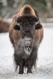 American bison in the winter Stock Photography