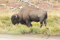 American Bison & x28;Buffalo& x29; Royalty Free Stock Photos