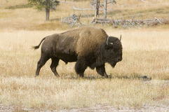 American Bison in Yellowstone meadow Royalty Free Stock Photo